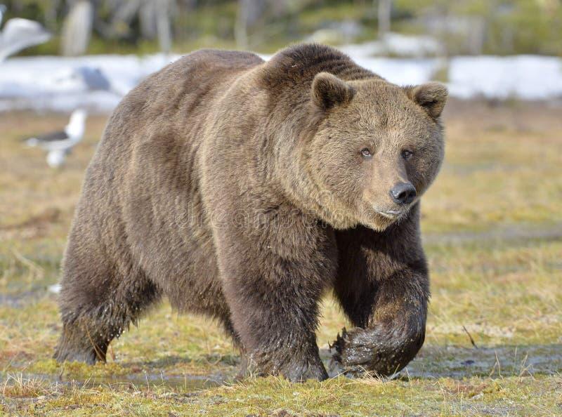 Volwassen mannetje van Bruine Beer (Ursus-arctos) royalty-vrije stock fotografie