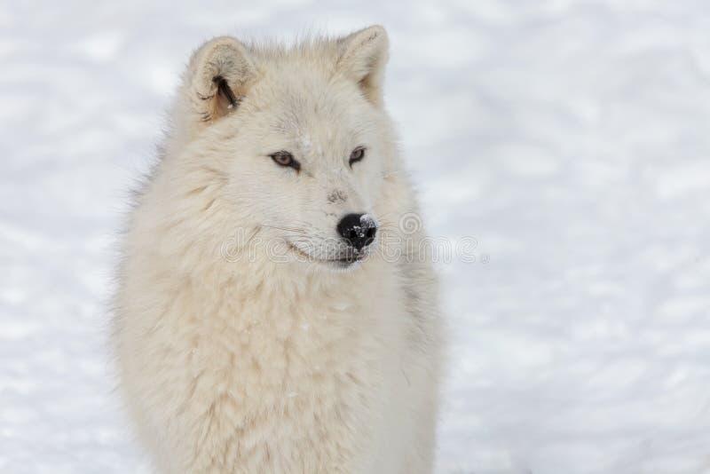 Volwassen Noordpoolwolf stock afbeeldingen