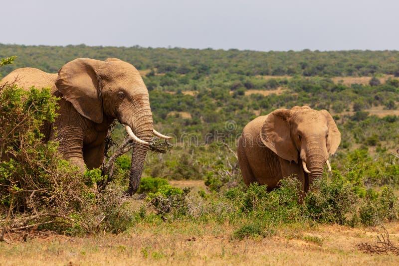 Volwassen olifant en babyolifant die samen in Addo National Park lopen stock afbeeldingen