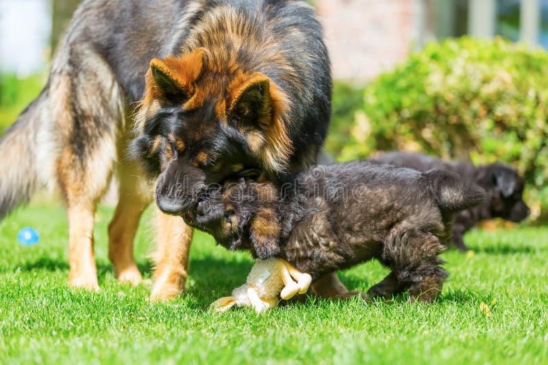 Volwassen oud Duits herdershond en puppy die samen spelen stock foto's