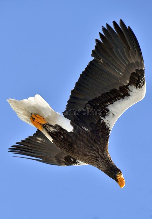 Volwassen overzeese van Steller ` s adelaar tijdens de vlucht stock afbeeldingen
