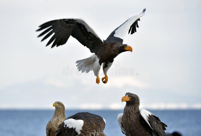 Volwassen overzeese van Steller ` s adelaar tijdens de vlucht stock foto