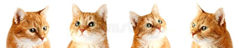 Volwassen rode die kat op witte achtergrond wordt geïsoleerd stock afbeelding