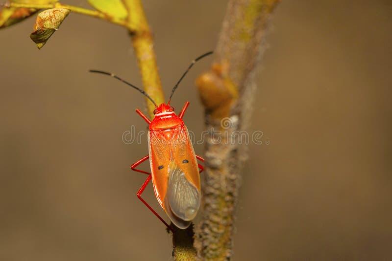 Volwassen rood zijde katoenen insect, Dysdercus-koenigii royalty-vrije stock afbeelding