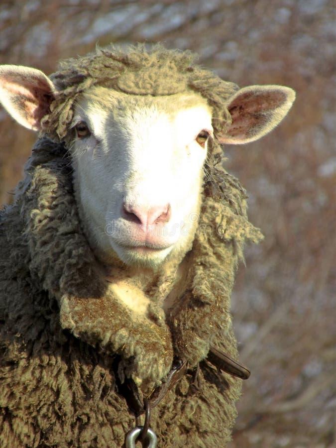 Volwassen schapen die bij camera met vuile wol staren stock foto's
