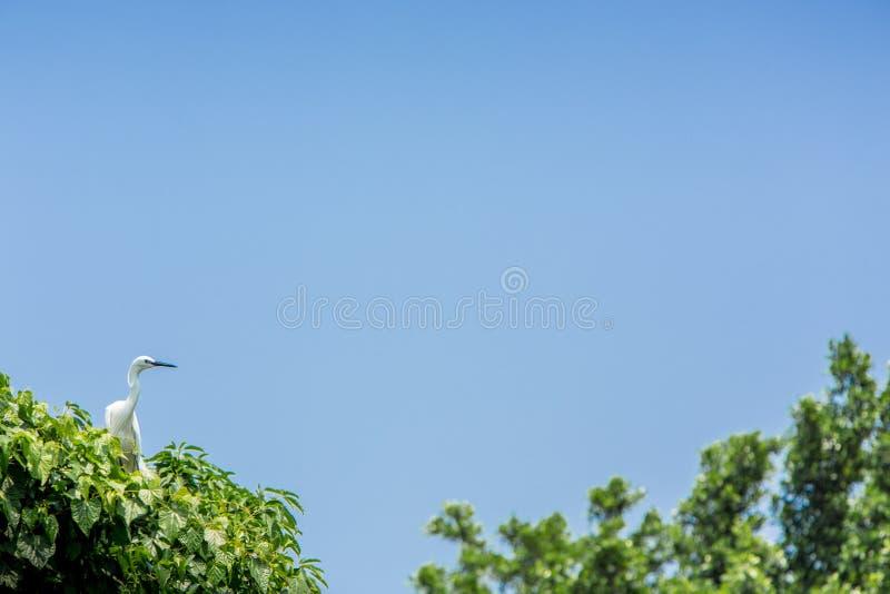 Volwassen vogel witte Egretta Garzetta op de boom Weinig aigrette bij de stad van Parktaipeh royalty-vrije stock afbeelding