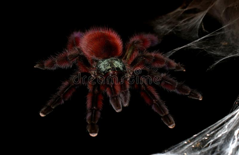 Volwassen vrouwelijke Antillen Roze Toe Tarantula stock afbeelding