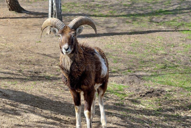 Volwassen wild mannetje moufflon op het weiland royalty-vrije stock afbeelding