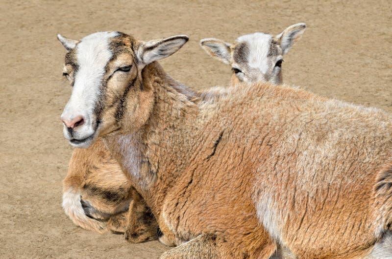 Volwassen wild wijfje mouflon met haar lam royalty-vrije stock fotografie