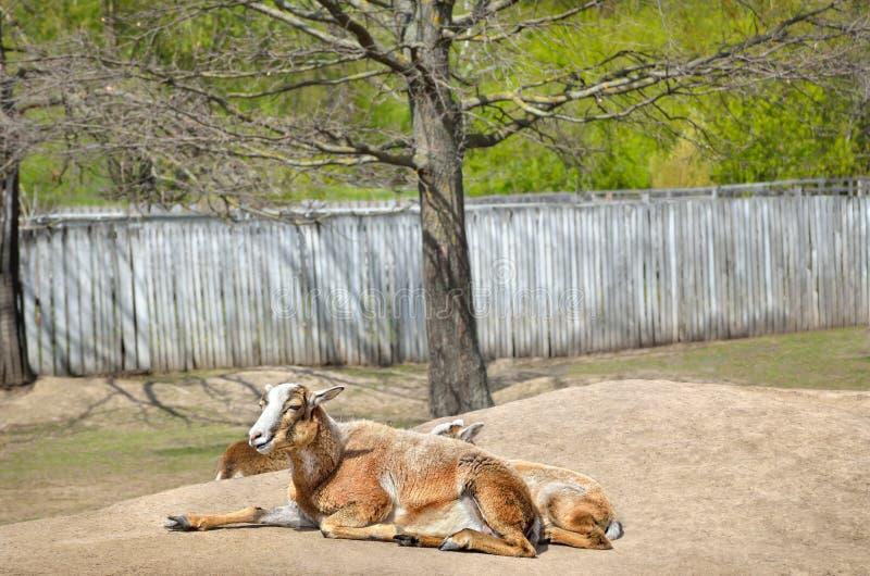 Volwassen wild wijfje mouflon met haar lam stock foto's