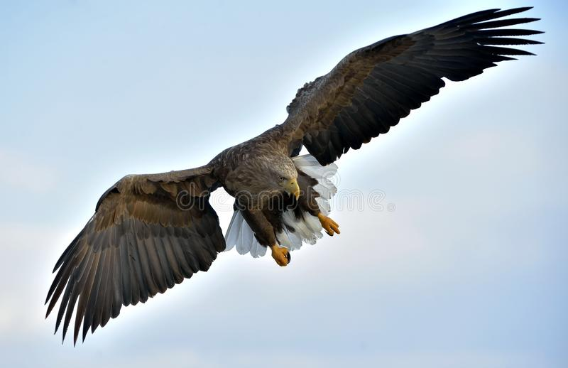 Volwassen wit-de steel verwijderde van adelaar tijdens de vlucht Blauwe hemelachtergrond royalty-vrije stock fotografie