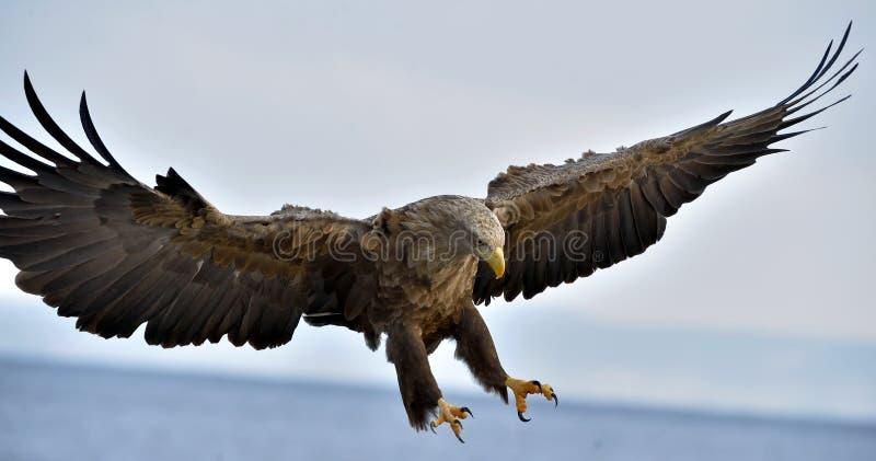 Volwassen wit-de steel verwijderde van adelaar tijdens de vlucht Blauwe hemelachtergrond royalty-vrije stock foto