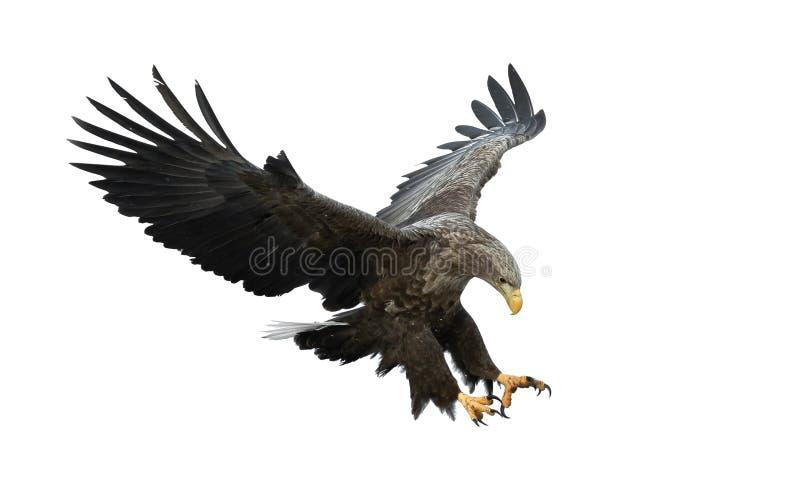Volwassen wit-de steel verwijderde van adelaar tijdens de vlucht Geïsoleerdj op witte achtergrond royalty-vrije stock fotografie