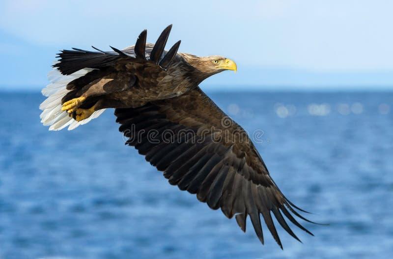 Volwassen wit-De steel verwijderde van adelaars visserij Blauwe oceaanachtergrond Wetenschappelijke naam: Haliaeetusalbicilla, al stock foto