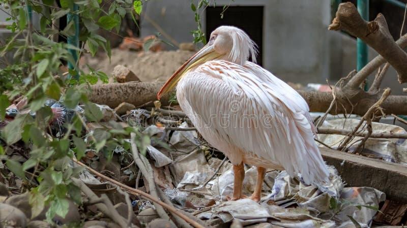 Volwassen Witte Ibis die op een stapel van plastic afval rusten stock afbeelding