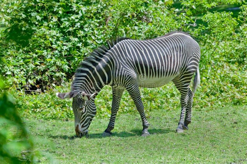 Volwassen Zebra stock foto