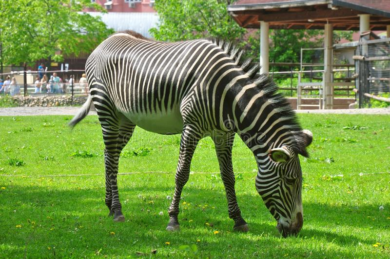 Volwassen zebra op een gebied stock afbeeldingen