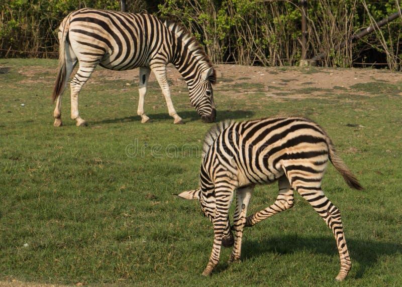 At volwassen zebra twee daar lunch stock afbeeldingen