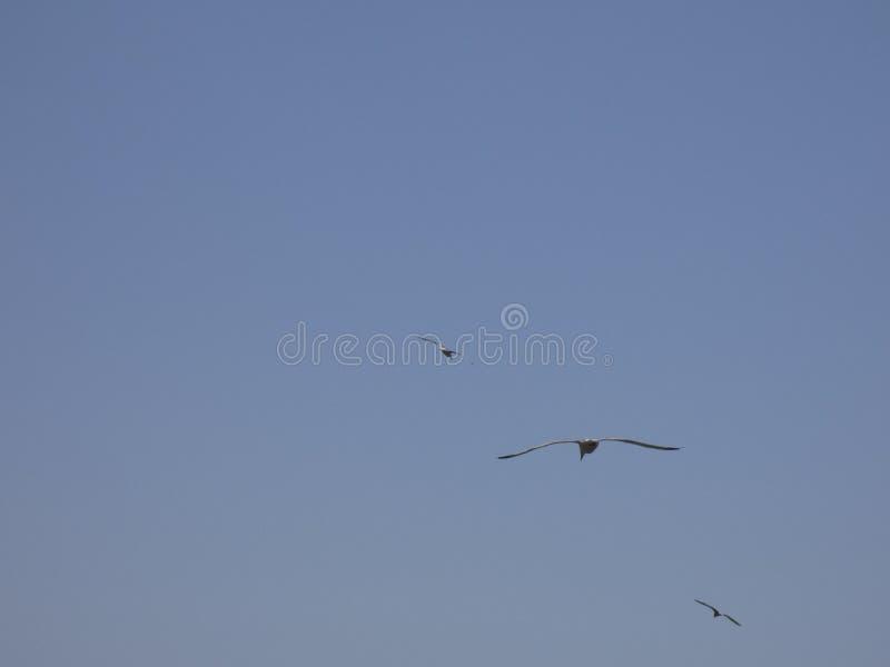 Volwassen zeemeeuw die met blauwe hemelachtergrond vliegen stock afbeeldingen