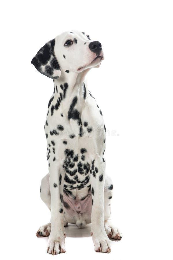 Volwassen zittings Dalmatische hond die omhoog eruit zien royalty-vrije stock afbeeldingen