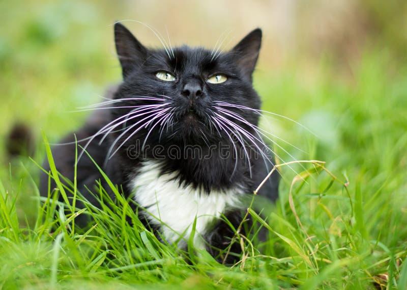 Volwassen zwart-witte kat stock afbeeldingen