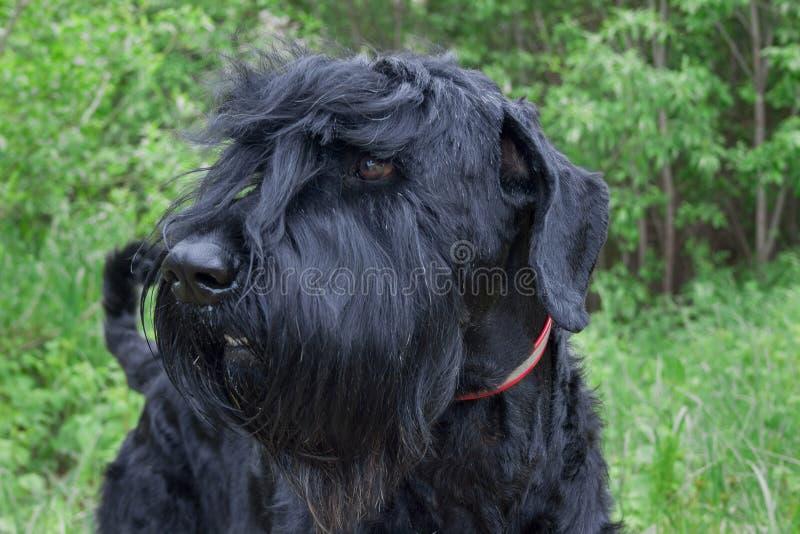 Volwassen zwarte Russische terriër dichte omhooggaand Huisdieren stock foto