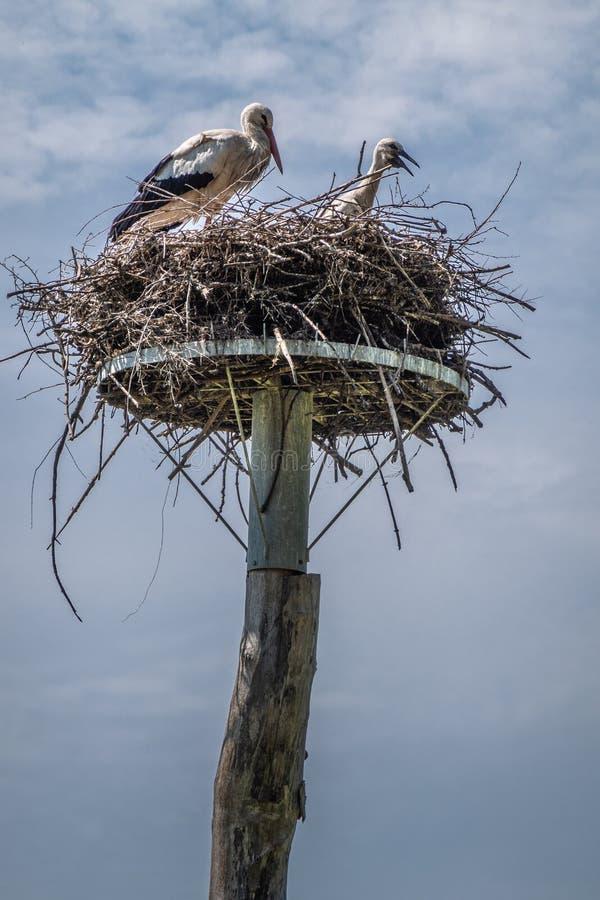 Volwassene en één kuikenooievaar in nest in Zwin-Vogeltoevluchtsoord, knokke-Heist, Vlaanderen, België royalty-vrije stock fotografie