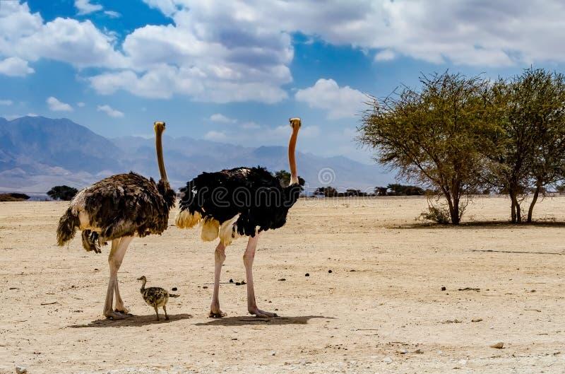 Volwassene en baby van Afrikaanse struisvogel (Struthio-camelus) stock foto