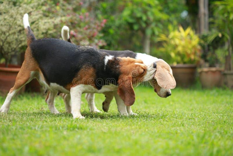 Volwassene en puppy de brakhond speelt in gazon royalty-vrije stock foto's