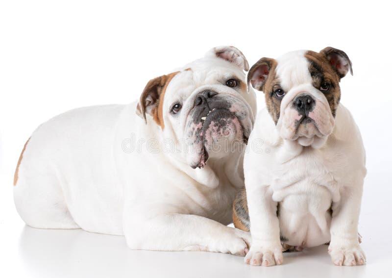 volwassene en puppybuldog royalty-vrije stock foto