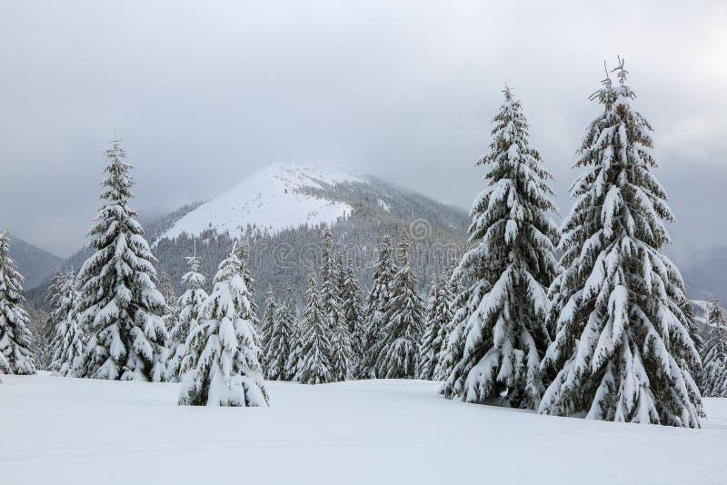 Vom Rasen ein Panoramablick von bedeckt mit Frostbäumen in den Schneewehen, hoher Berg mit weißen Spitzen des Schnees Winter stockfoto