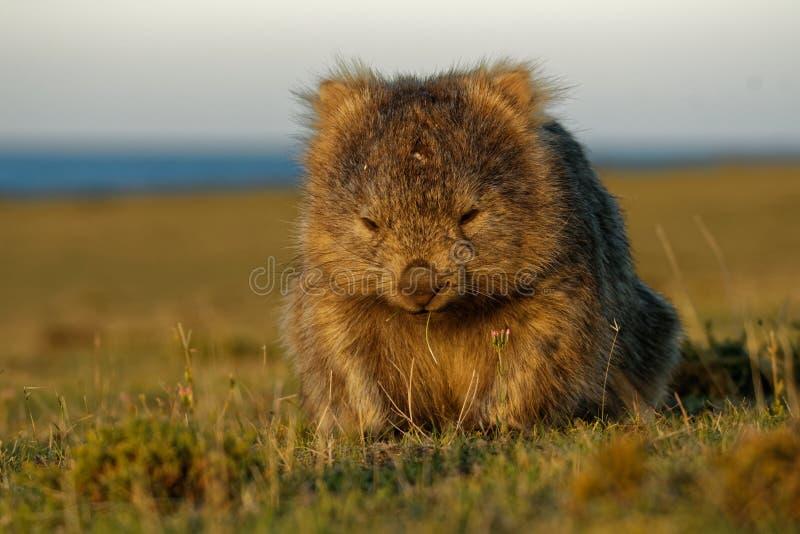 Vombatus-ursinus - allgemeines Wombat in der tasmanischen Landschaft, Gras am Abend auf der Insel nahe Tasmanien essend lizenzfreie stockbilder