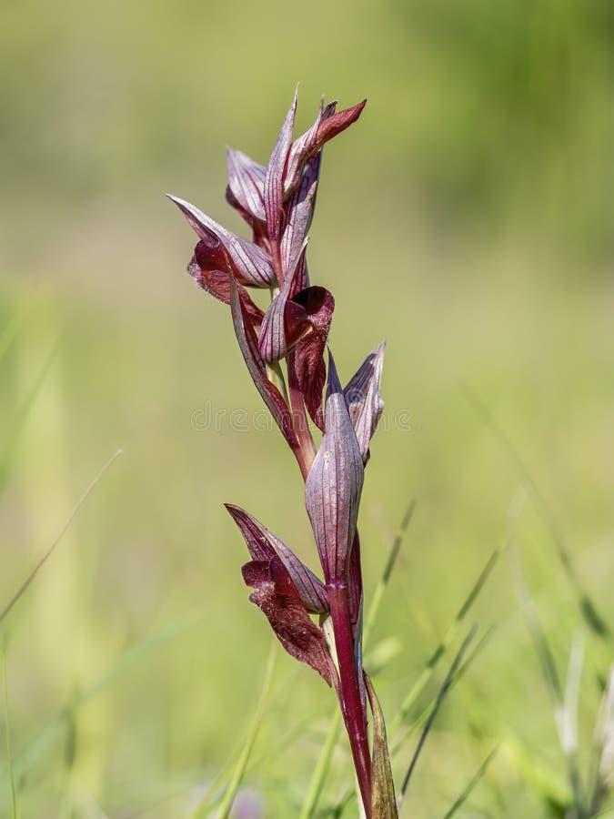 Vomeracea, alias lang-lippige oder Pfluganteil Serapias serapias Europ?ische wilde Orchidee lizenzfreie stockfotos