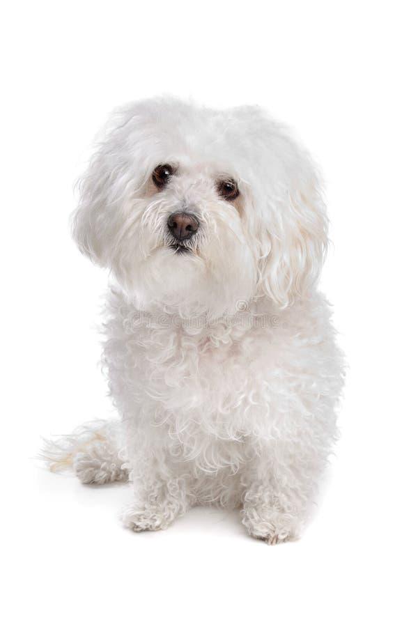 Von Bolognese Hund stockfoto