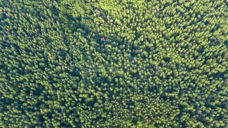 Von der Luftdraufsicht der Waldlandschaft von oben, Kiefernaturhintergrund stockfotografie
