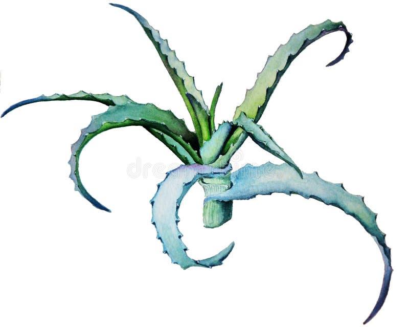 Von der medizinischen Aloe vektor abbildung