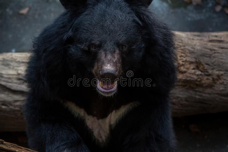 Von einem schwarzen Bären Erwachsener Formosas im Wald gegenüberzustellen Nahaufnahme, an einem Tagesheißen Sommer lizenzfreie stockbilder