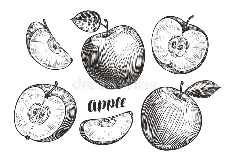 Von Hand gezeichnete Äpfel und Scheiben, Skizze Fruchtkonzept Weinlesevektorillustration vektor abbildung