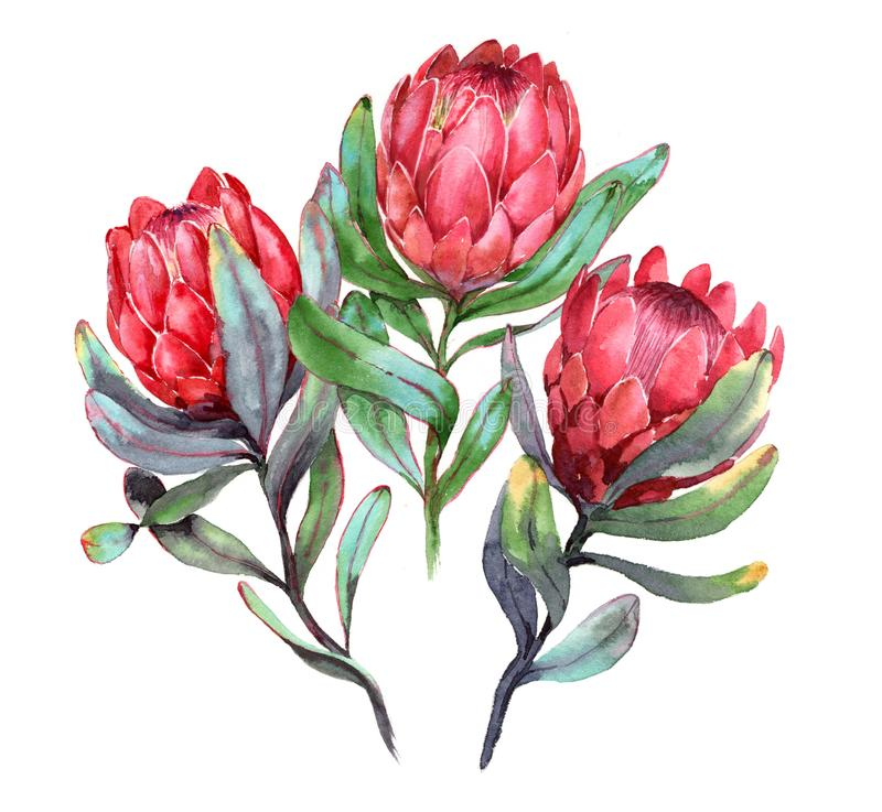 Von Hand gezeichnete Aquarellillustration von drei roten Proteablumen lizenzfreie abbildung