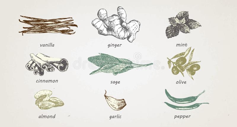 Von Hand gezeichnete Illustration von Gewürzen und von Kräutern, Vektor stock abbildung