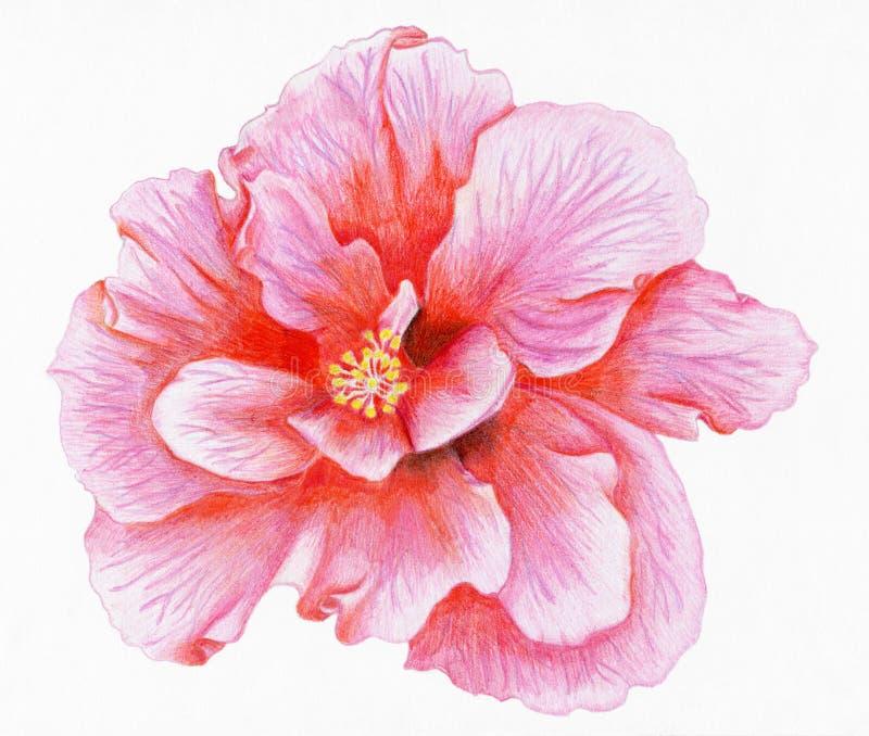 Von Hand gezeichneter rosa Hibiscus stock abbildung