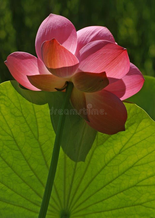 Von hinten beleuchtete rosafarbene Lotos-Blume lizenzfreie stockbilder