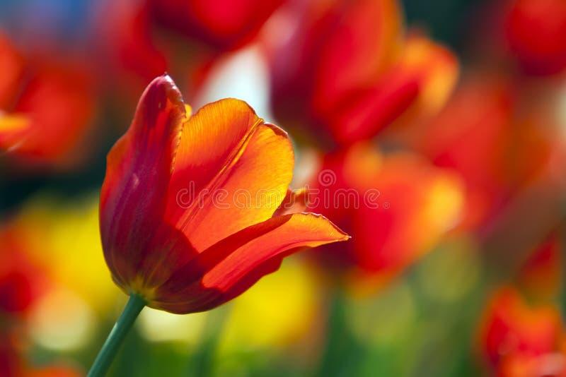 Von hinten beleuchtete Tulpe lizenzfreie stockfotos