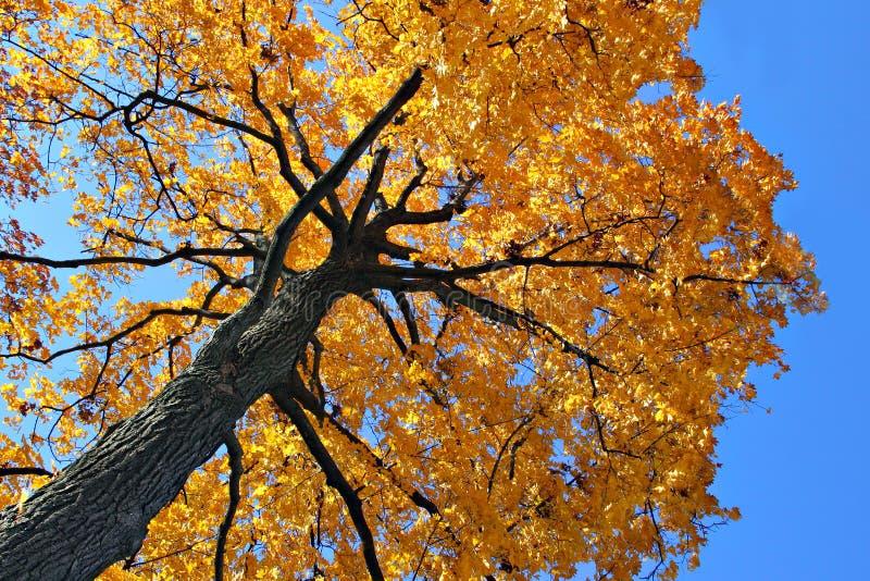 Von hinten beleuchteter Herbst-Eichen-Baum stockfotografie