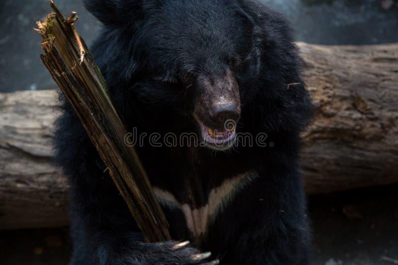 Von schwarzem Bären gegenüberzustellen Nahaufnahme, Erwachsener Formosas, der hölzernen Stock mit den Greifern hält lizenzfreie stockfotos