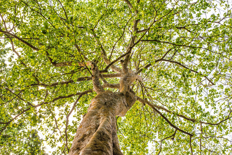Von unterhalb der Ansicht den Baum oben schauen stockbilder