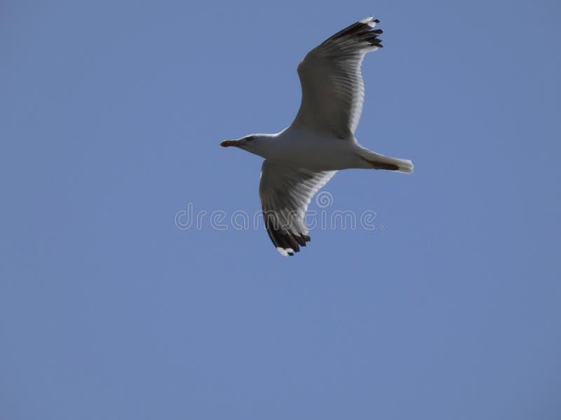 Voo adulto da gaivota com fundo do céu azul imagem de stock royalty free