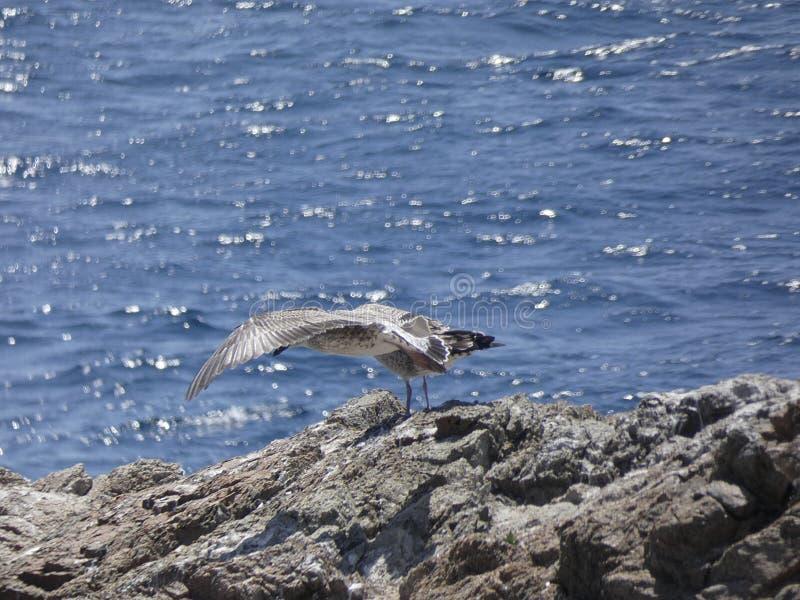 Voo adulto da gaivota com fundo do céu azul imagens de stock royalty free