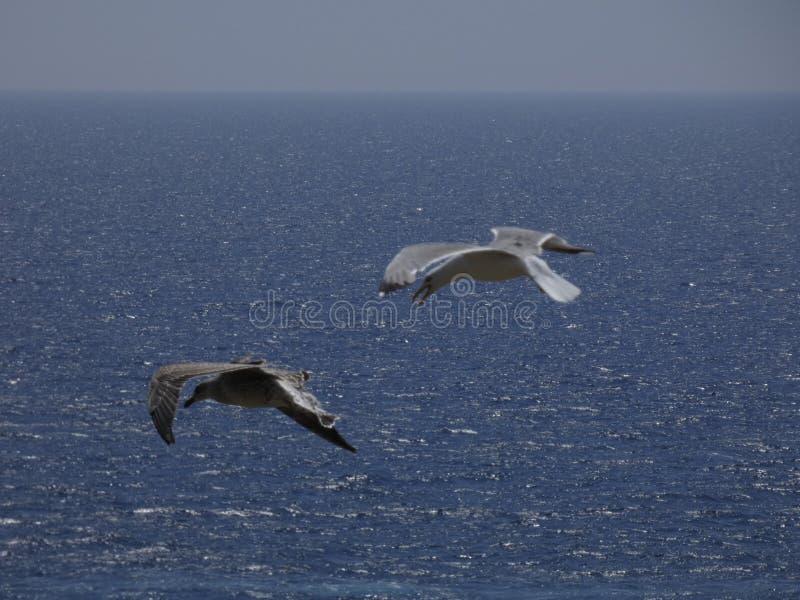 Voo adulto da gaivota com fundo do céu azul foto de stock