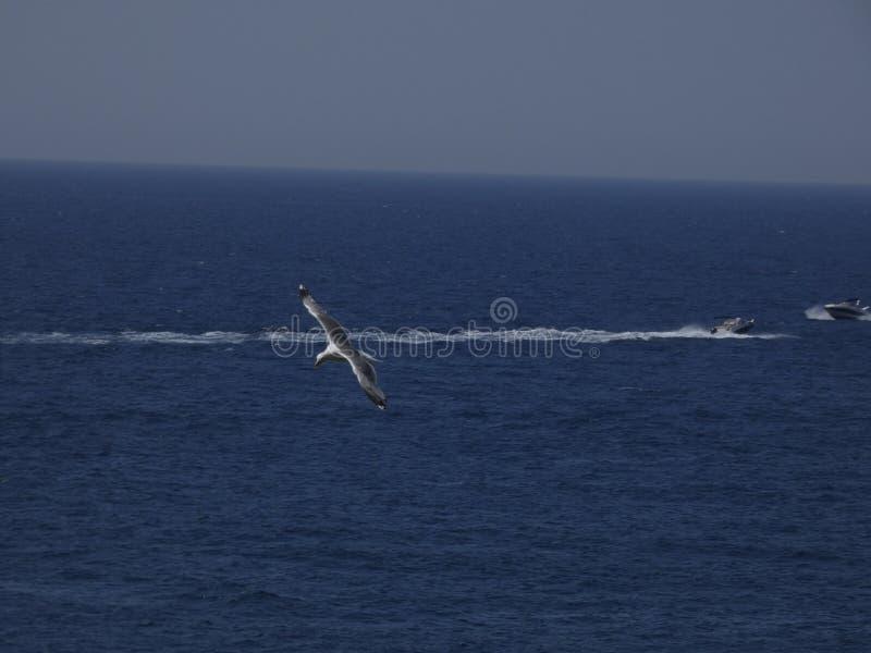 Voo adulto da gaivota com fundo do céu azul fotografia de stock